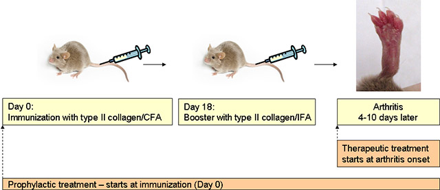 Mouse Model Yields Possible Treatment >> Hooke Contract Research Collagen Induced Arthritis Cia In Dba
