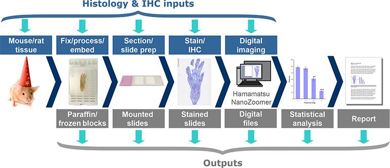 Hooke - Histology